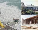 Đìu hiu biệt thự triệu đô của Trịnh Xuân Thanh và cá lại chết trắng Hồ Tây