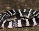 Mua rắn độc về làm thú cưng, cô gái bị cắn đến nguy kịch