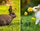 Sự thuần hóa thay đổi não thỏ như thế nào?