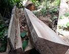 Phát hiện vụ triệt hạ 16 cây gỗ dổi lâu năm
