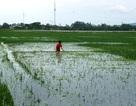 Người dân dầm mình giữa nước lũ cứu lúa