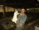 Bỏ trồng rau qua nuôi thỏ New Zealand, mỗi tháng đút túi hơn 30 triệu đồng