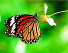 Mức CO2 gia tăng đe dọa loài bướm chúa