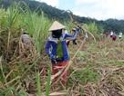 Nguy cơ tồn đọng 10 vạn tấn đường, tỉnh Phú Yên kiến nghị miễn VAT với mặt hàng đường
