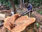 Cận cảnh hàng loạt cây gỗ dổi lâu năm bị đốn hạ không thương tiếc