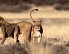 Sư tử Nam Phi ăn thịt một nhóm nghi là săn trộm tê giác