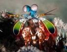 Cách thức điều chỉnh vết nứt trên càng của loài tôm bọ ngựa