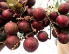 Loại quả duy nhất của Việt Nam khiến Thái Lan lùng mua từng cây