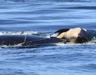 Cá voi sát thủ mẹ đau buồn mang xác con qua đại dương suốt 16 ngày
