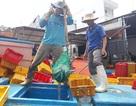 Quảng Ngãi: Ngư dân buồn vì sản lượng hải sản sụt giảm