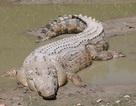 'Tận mục' 10 loài bò sát có trọng lượng lớn nhất thế giới
