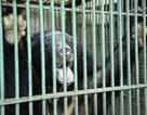 Người dân tự nguyện giao nộp hai cá thể gấu nuôi nhốt