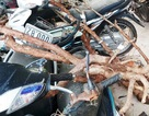 Nhức nhối nạn đào trộm gốc hoa hồng cổ ở Đà Lạt