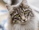 Loài mèo đã cùng với người Viking đi chinh phục thế giới?