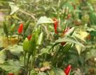 Quảng Ngãi: Kiếm tiền triệu từ đặc sản ớt xiêm rừng