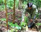 Phát triển sâm Ngọc Linh thành cây xóa đói giảm nghèo cho đồng bào dân tộc thiểu số