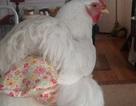 Phất lên nhờ sản xuất tã bỉm cho... gà