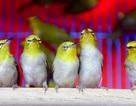 Nhộn nhịp chợ chim, cá phóng sinh dịp rằm tháng 7