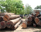 Vụ bắt Hạt trưởng Kiểm lâm: Chi cục trưởng Kiểm lâm tự nguyện giao nộp 8m3 gỗ
