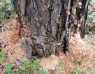 Bắt thủ phạm bơm hóa chất đầu độc gần 4ha rừng thông