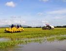 Nước không ngừng dâng cao, nông dân cuống cuồng gặt lúa chạy lũ