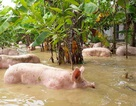 Nước nhấn chìm trang trại, hàng nghìn con lợn bơi trong dòng lũ