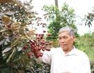 Nhãn tím Việt được thương lái Thái sùng sục lùng mua: Mỗi nhánh giá bạc triệu