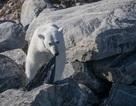 Bức ảnh Gấu bắc cực nhai túi nhựa tăng lo ngại về vấn đề rác nhựa đại dương