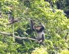Mua đất rừng của dân để bảo tồn loài voọc chà vá chân xám