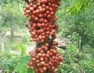 Xốn xang mùa dâu đất ở Quảng Nam