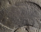 Phát hiện chất béo từ 558 triệu năm trước của động vật cổ xưa nhất