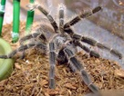 Rợn người trào lưu nuôi nhện khổng lồ của những dân chơi phố
