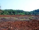 Để mất gần 20ha rừng, chủ tịch công ty lâm nghiệp bị… khiển trách
