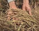 4.600 hộ dân mỏi mòn chờ nhận tiền hỗ trợ lúa chết từ... 2015