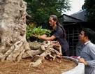 Ngắm cây cổ rùa hàng trăm năm tuổi hiếm thấy ở miền Tây