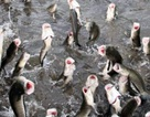 Cần Thơ: Dân huấn luyện cho cá lóc bay qua vòng lửa