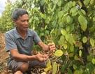 Quảng Bình: Nông dân điêu đứng vì tiêu chết hàng loạt