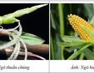 Thực phẩm biến đổi gen từ góc nhìn khoa học