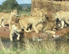 Bầy sư tử cái điên cuồng lao tới cắn xé sư tử đực đầu đàn
