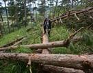 Điều tra, xử lý vụ chặt hạ rừng thông để chiếm đất