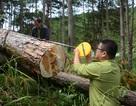 Điều tra vụ hàng trăm cây thông bị đầu độc tại Lâm Đồng