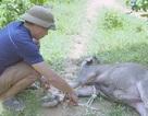 Dịch tụ huyết trùng bùng phát, trâu bò chết hàng loạt