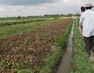 Cả ruộng khoai lang bị kẻ xấu phun thuốc diệt cỏ