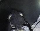 """Cá sấu dài 2m """"gác"""" tầng hầm tàng trữ đầy súng đạn"""