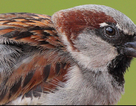 Nguyên nhân chim sẻ mắc siêu vi trùng West Nile