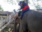 Đắk Lắk gắn chíp điện tử cho 45 con voi nhà