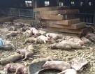Heo chết la liệt sau vụ hỏa hoạn tại trang trại 1200 con