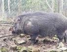 Quảng Ngãi: Kiếm hàng trăm triệu đồng từ nuôi heo rừng bán dịp Tết