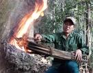 Quảng Ngãi: Độc đáo nghề cạo nhựa dầu rái