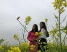 Ngất ngây với cánh đồng hoa cải vàng rực tại xứ Thanh